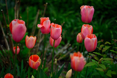 Tulips (E. Aguedo) Tags: new red plant flower green garden spring tulips ngc princeton jersey