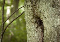 Wolf Spider in Waiting (rachelhartleysmi) Tags: wild forest spider spring scary woods wolf arachnid indiana creepy creature
