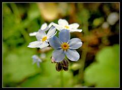 Vergissmeinnicht (karin_b1966) Tags: plant flower nature garden blossom natur pflanze blume blte garten vergissmeinnicht 2016 forgotmenot yourbestoftoday