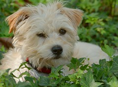 Yorkshire Terrier Mix (sonstroem) Tags: dog pet pets cute dogs yorkie puppy happy yorkshire terrier yorkiepoo yorkipoo
