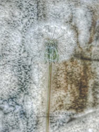 Dandelion Against my Backyard Wall (Retro Focus Eyewear & Back Thennish Vintage) Tags: photography grunge hipster dandelion indie mybackyard alternative wishing naturephotography makeawish mutedtones creativephotography amateurphotography palegrunge mutedphotography