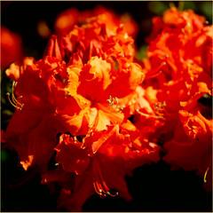 orange flowers (atsjebosma) Tags: orange macro spring details ngc may thenetherlands azalea mei groningen lente oranje bloem voorjaar 2016 atsjebosma