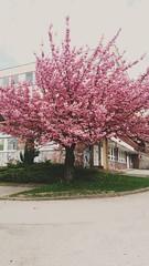 #lovetree #pink #love #inlove (dianavitova) Tags: pink love inlove lovetree