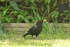Male Blackbird (Orange Dean) Tags: bird outdoors nikon blackbird d3100