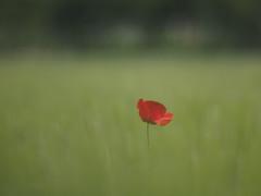 I feel alone (Riccardo Palazzani - Italy) Tags: italien red italy flower verde green field italia natura olympus poppy fiori rosso lombardia italie itlia omd riccardo itali pavot mohn  em1 lombardie italya  amapola papavero papoula  lombardei         palazzani  veridiano3