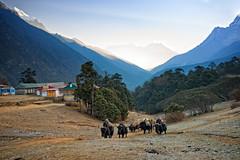A Carvan of Yaks, Near Tengboche Monastery, Khumjung, Nepal (CamelKW) Tags: nepal monastery yaks khumjung 2016 tengboche carvan everestpanoram