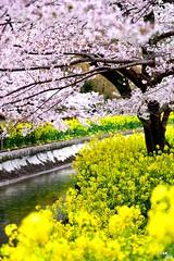 (Clonedbird  & Iris ) Tags:        jr   yamashina kyoto sakura japan kansai  2016 nikon d810    cherryblossom