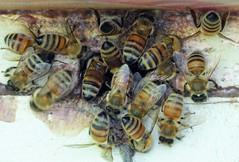Upper entrance (alansurfin) Tags: abejas macro bees beehive abeilles bienen honeybees propolis apismellifera