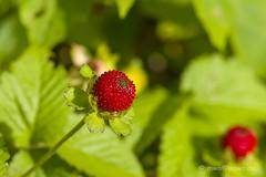 Scheinerdbeere (mwo_w_GERMANY) Tags: erdbeere indica potentilla indische falsche fingerkraut scheinerdbeere scheinerdbeer