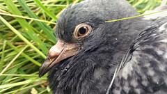 Colombo (Marty_0722) Tags: wild bird eye nature animal fauna wildlife natura occhio animale piccione colombo uccello becco
