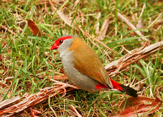 red.eyebrow finches (4 of 5) (Daniela Parra F.) Tags: aves birds finches red redeyebrowfinch birdsofaustralia aussiewildlife australia queensland qld aquaticbirds australianwildlife australianbirds