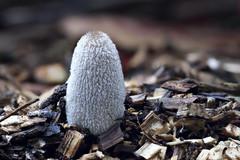 Inkcap Mushroom - 3 photos over 2 days, Hamilton, NZ (a. Time 0 hrs) (brian nz) Tags: wood newzealand mushroom gardens ink hamilton fungi cap fungus nz waikato mulch inkcap
