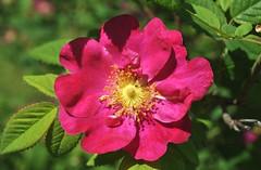 Il sole in cuore (Melisenda2010) Tags: flora coth