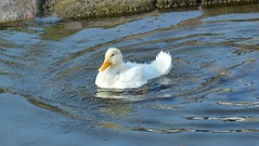 Junge Ente (Tobi NDH) Tags: bird nature animal duck natur duckling pato ente canard eend tier vogel anatra wasservogel kachna jungente ringleben