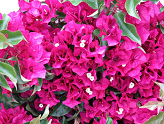 Shocking Pink! ('cosmicgirl1960' NEW CANON CAMERA) Tags: pink flowers white green nature gardens spain parks bougainvillea espana costadelsol andalusia marbella yabbadabbadoo worldflowers