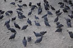 Coragyps atratus (Diana Padrn) Tags: bird birds ave aves venezuela venezolano venezolana venezolanos venezolanas zamuro carroero comn urubudecabeapreta black vulture catharte urubu      coragyps atratus