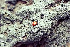 La coccinella dell'Etna (leti zacca) Tags: travel trekking lava nebbia etna viaggio sicilia vulcano insetto coccinella scalata