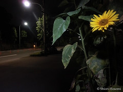 Helianthus annuus (Shiori Hosomi) Tags: flowers plants june japan night tokyo nocturnal nightshot  asteraceae   helianthus 2016   asterales  noctuary   flowersinthenight noctivagant  23