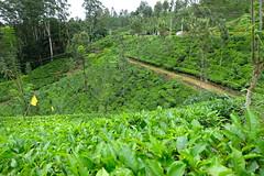 Tea plantation, Kandy (maddalena monge) Tags: teaplantation liptontea goldentulipstea srilanka ceylon