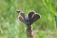 +IMG_9286 Prz ezsts boglrkk (Plebejus argus)_cr (NagySandor.EU) Tags: mating plebejusargus przs boglrkalepke ezstsboglrka boglrkalepkeflk