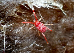 Mite ID? (Bugldy99) Tags: red macro nature animal outdoors arachnid arthropoda arachnida mite arthropod acari