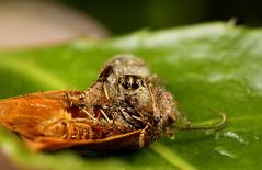 Macaroeris Nidicolens feeding on a moth. (Little Boy 09) Tags: macro canon eos spider high jumping venus arachnid flash 28mm pentacon reversed 800 f28 oooo kx magnification 60d macrodream