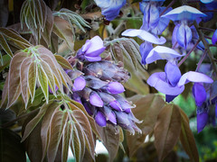 Wisteria (judy dean) Tags: garden devon wisteria canonpowershot 2016 rhsrosemoor judydean