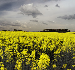 Rape Blossom Field (Taras L) Tags: flowers blue summer sky plant flower tree green nature field yellow clouds rural forest germany landscape spring energy outdoor horizon meadow bio rape oil agriculture raps fuel canola rapeseed cultivated