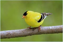 Chardonneret mle (Marie-Helene Abitibi) Tags: oiseau abitibi valdor mariehelene chardonneret mariehlne