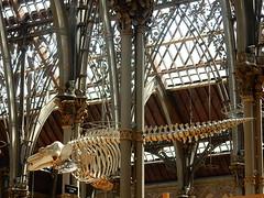 Hanging Skeleton (mikecogh) Tags: architecture skeleton gothic columns oxford bones hanging pittriversmuseum