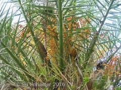 Date palm with dates (Su_G) Tags: orange tree green leaves contrast pattern palm nsw contrasts datepalm 2016 sug sydneynsw datesfruit gordonnsw