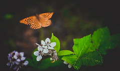Papillon (Caucas') Tags: papillon butterfly kelebek steve free escape french 1973 quotes here nikon d7000 85mmf18g échapper escapar iˈskāp fuga nature doğa green orange film theme from hey you im still liberty dof animal basic colors kafkas move