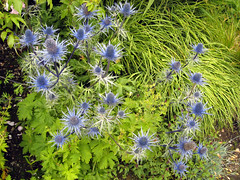 Sea holly, Kylemore Abbey gardens (midvale2) Tags: ireland kylemore
