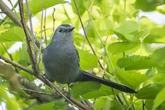 GRAY CATBIRD (nsxbirder) Tags: indiana brookville whitewaterriver graycatbird dumetellacarolinensis leveerdbrookville