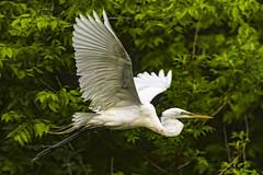 Great Egret (ThruKurtsLens.com (Kurt Wecker)) Tags: usa water photography wildlife wildlifephotographer 2016 naturephotographer nikond500 thrukurtslenscom kurtwecker nikon200500