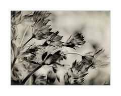 A Summer Breeze (Missy Jussy) Tags: flowers summer bw plants nature monochrome gardens mono blackwhite petals stem wind bokeh wildlife frame breeze mygarden britishsummertime canonpowershotsx60
