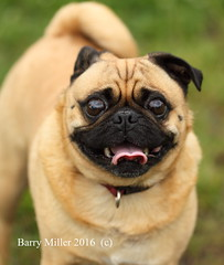 The Pug (Barry Miller _ Bazz) Tags: dog pet cute pug selfie outdoorphotography canon5dmark2 300mmf4llens