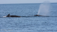 Humpback Whales- blowhole spout (TKovener) Tags: humpback whale california blowhole spout