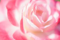 [Explored] Rose - Nikon D3s & Nikon AF-S Micro NIKKOR 60mm f/2.8G ED (TORO*) Tags: nikon d3s dslr af afs micro macro nikkor 60 60mm f28g f28 ed rose flower pink white bokeh blur nature plant