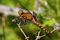 Libellula Depressa - Libellule Dprime (Sbastien Vermande) Tags: wild france macro nature insect spring dragonflies dragonfly bokeh lot printemps libellule macrolens macrophotography midipyrnes macrophotographie insectmacro canon7d sigmaapoteleconverter14xexdg sigma150macroexdg vermande