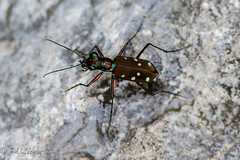 Cicindle (Philippe Lcuyer) Tags: pakistan insect wildlife tigerbeetle insecte islamabad margallas cicindle