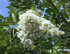 White Lilac Tree In Atlanta (Sandra Lee Hall) Tags: flowers summer white plant tree japanese perfume clusters lilac smell fragrant bloom fragrance syringa reticulata