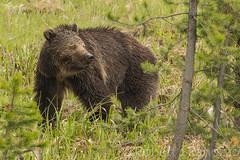 Having a look around (ChicagoBob46) Tags: grizz grizzly grizzlybear bear yellowstone yellowstonenationalpark
