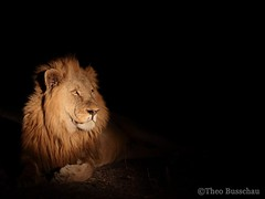 Male lion at night (Theo Busschau) Tags: africa portrait nature animal night canon southafrica leo wildlife lion spotlight bigfive naturephotography malelion africanwildlife wildlifephotography 70d 5525mmstm