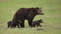 Close order march (Hammerchewer) Tags: bear outdoor wildlife yellowstone cubs sow grizzlybear