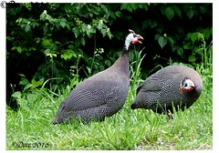 Guinea Fowl (Picsnapper1212) Tags: africa ohio bird nature animal farm barnyard guineafowl warrencounty