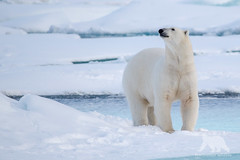 Polar Bear (fascinationwildlife) Tags: ocean bear sea wild summer snow male ice nature animal mammal nationalpark marine wildlife natur arctic pack national polar predator spitsbergen br drift eisbr spitzbergen
