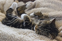 Cat Nap (Carl Yeates) Tags: cat fur sleep tigger