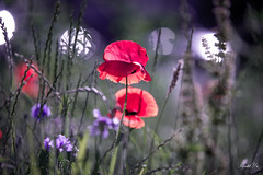 Poppies  (T.ye) Tags: lighting flowers light wild plant flower field grass bokeh outdoor deep todd tone ye  popies