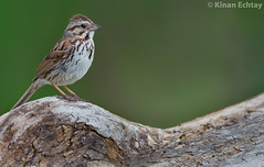 Song Sparrow (Melospiza melodia) (Kinan Echtay ... So busy) Tags: wild canada bird nature beauty birds animal animals nikon outdoor song wildlife sparrow alberta nikkor 500mm songsparrow melospizamelodia melospiza melodia kinan tc14 d4s kinanechtay echtay